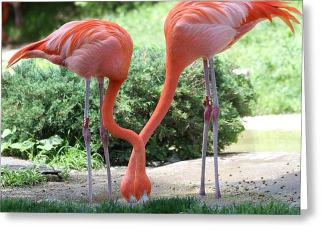 Intertwined Flamingoes Greeting Card by Dan Sproul
