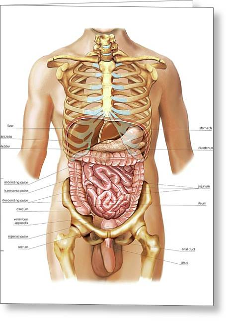 Intestines Greeting Card by Asklepios Medical Atlas