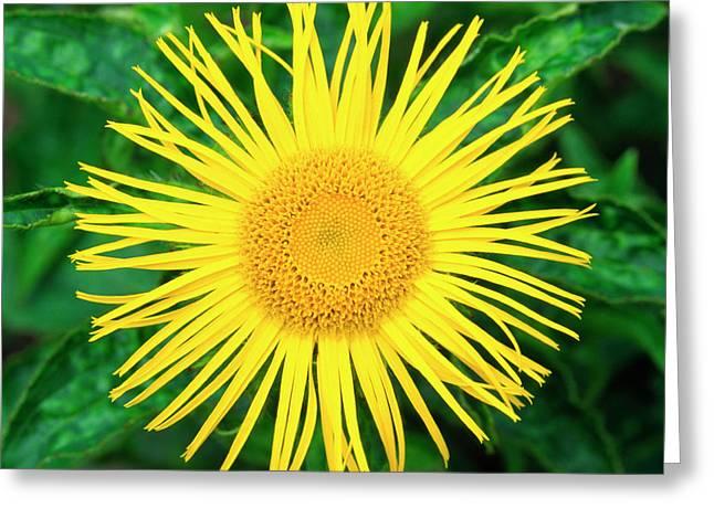 Inula Flower Greeting Card by Nigel Downer