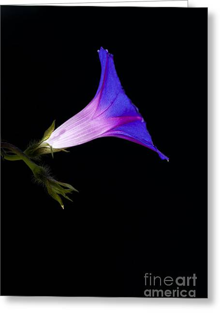 Ipomoea Morning Glory Greeting Card by Tim Gainey