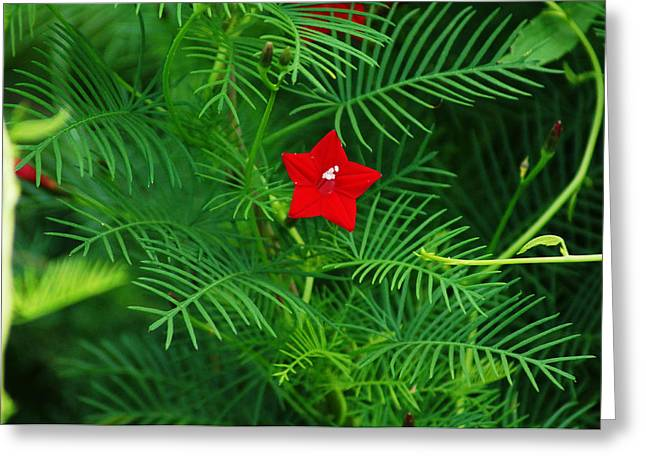 Ipomoea Quamoclit Greeting Card