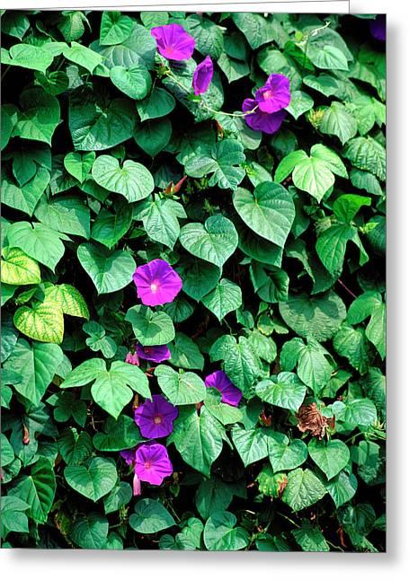 Ipomoea Tricolor. Greeting Card