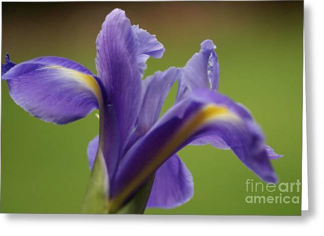 Iris 3 Greeting Card by Carol Lynch