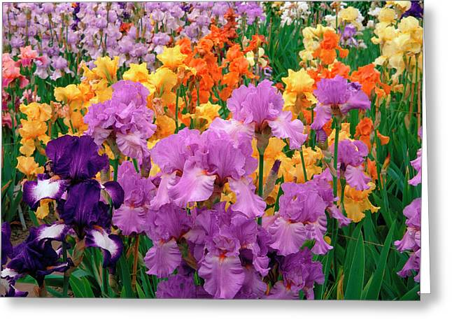 Iris. Greeting Card by Anthony Cooper/science Photo Library