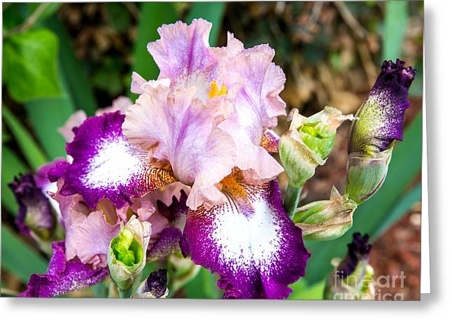 Iris Beauty Greeting Card by Sue Huffer