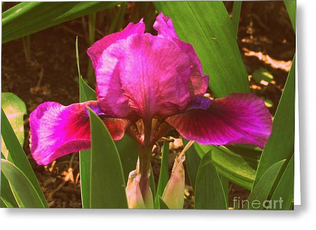 Iris Greeting Card by Christy Beal