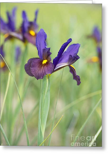 Iris Hollandica 'eye Of The Tiger' Greeting Card
