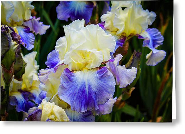 Greeting Card featuring the photograph Iris In Blue And Yellow by Patricia Babbitt