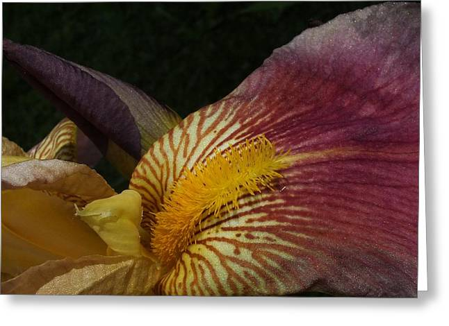 Greeting Card featuring the photograph Iris In Pink And Yellow by Gene Cyr