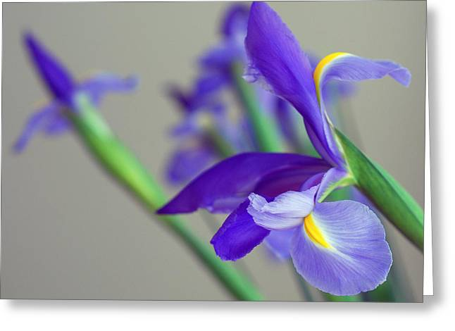 Greeting Card featuring the photograph Iris by Lisa Phillips