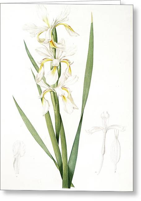 Iris Ochroleuca, Iris Jaune Blanc Salt Marsh Iris, Sea Greeting Card