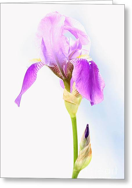 Iris On A Sunny Day Greeting Card