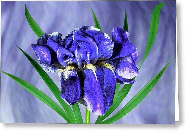 Iris Pallida Flowers Greeting Card by Archie Young