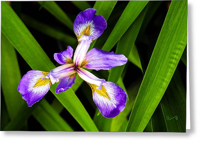 Iris Pinwheel Greeting Card by Penny Lisowski