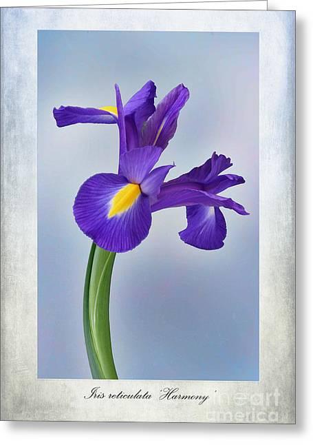 Iris Reticulata Greeting Card by John Edwards