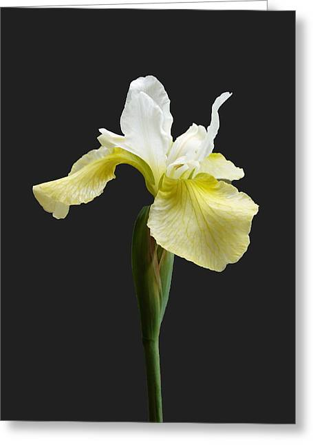 Greeting Card featuring the photograph Iris Sibirica  by Paul Gulliver