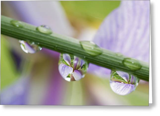 Iris Versicolor Reflection Greeting Card