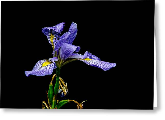 Iris Virginica Greeting Card by Chris Modlin