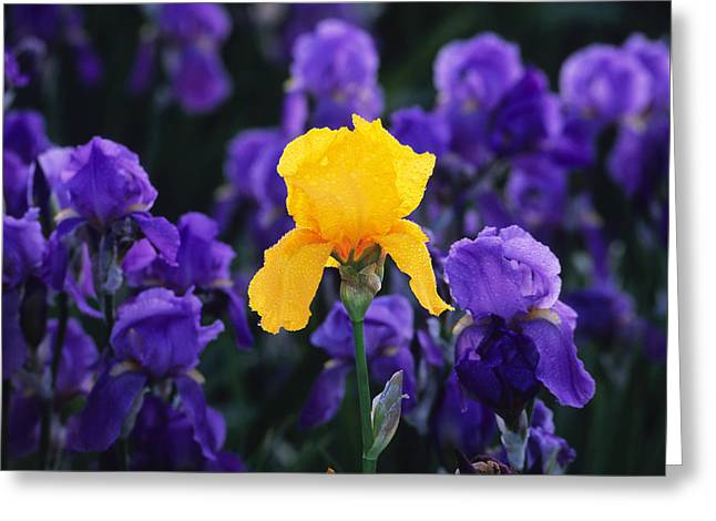 Iris Xxiii Greeting Card