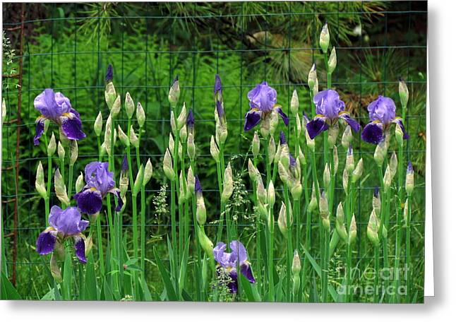 Irises Along The Fence Greeting Card