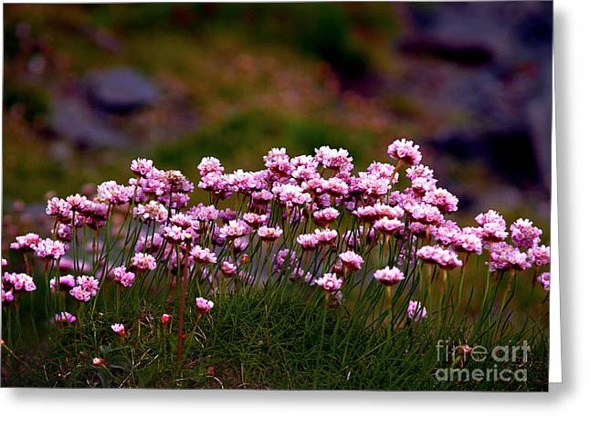 Irish Sea Pinks Greeting Card by Patricia Griffin Brett