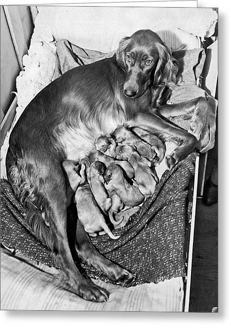 Irish Setter With 12 Puppies Greeting Card