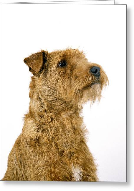 Irish Terrier Greeting Card by Gerard Lacz