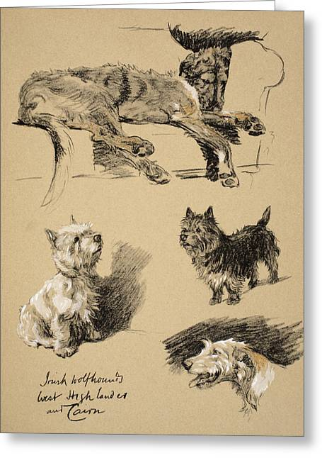 Irish Wolfhound, West Highlander Greeting Card by Cecil Charles Windsor Aldin