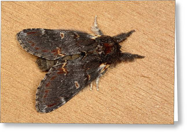 Iron Prominent Moth Greeting Card by Nigel Downer