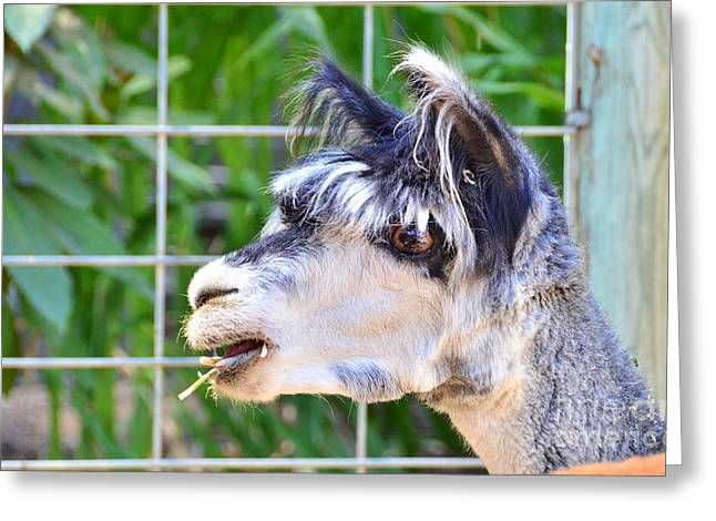 Greeting Card featuring the photograph Is Your Mama A Llama by Debby Pueschel