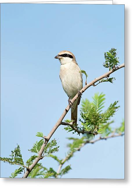 Isabelline Shrike Greeting Card by Tony Camacho