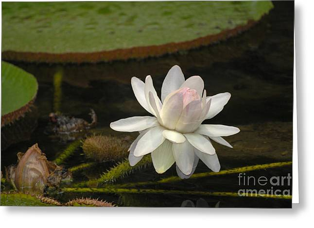 Ischian Water Lily Greeting Card