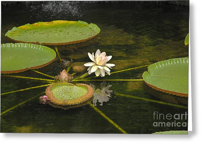 Ischian Waterlily Greeting Card