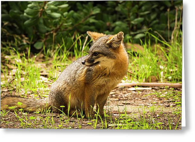 Island Fox (urocyon Littoralis Greeting Card