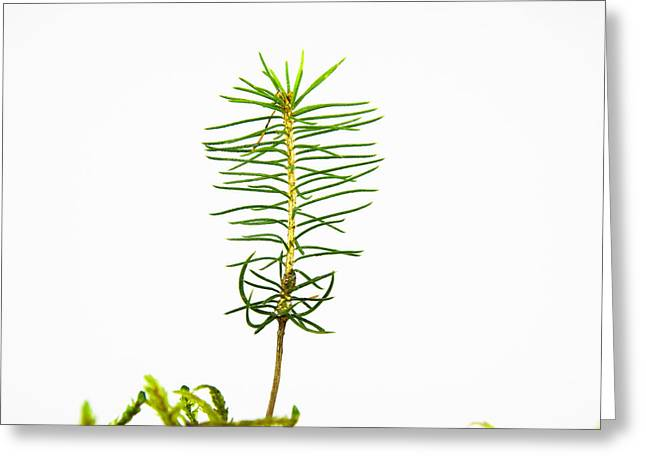 Isolated Spruce Seedling Greeting Card by Kennerth and Birgitta Kullman