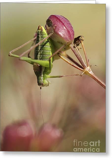 Isophya Savignyi - Bush Cricket Greeting Card by Alon Meir