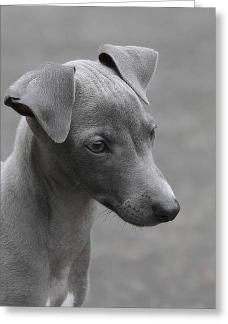 Italian Greyhound Puppy Greeting Card by Angie Vogel