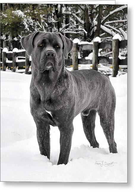 Italian Mastiff   Greeting Card by Fran J Scott