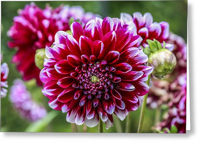 Its A Dahlia Dahling Greeting Card by CarolLMiller Photography