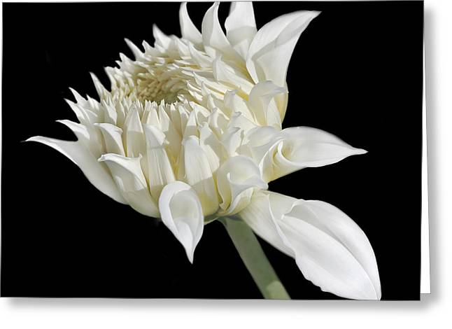 Ivory Dahlia Flower In The Beginning Greeting Card