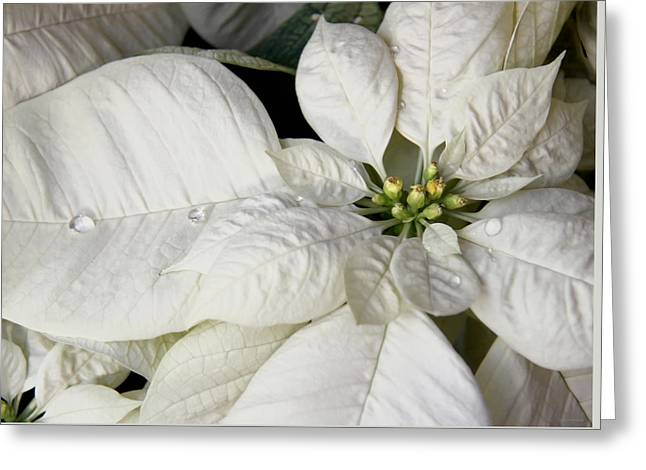 Ivory Poinsettia Christmas Flower Greeting Card by Jennie Marie Schell