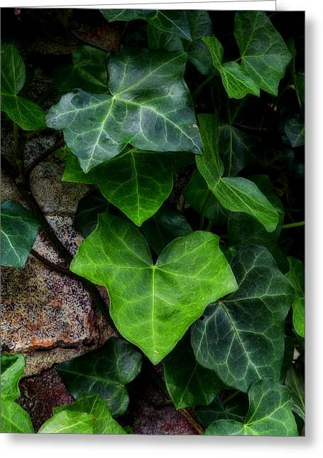 Ivy Over Rocks Greeting Card
