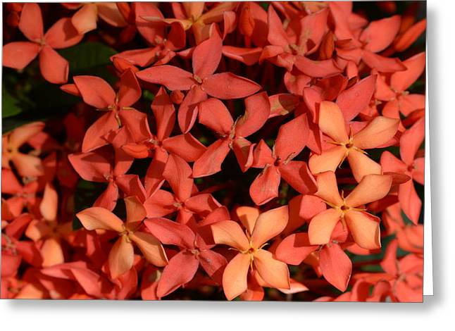Ixora Red Greeting Card