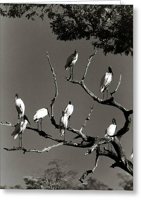 Jabiru Birds Greeting Card