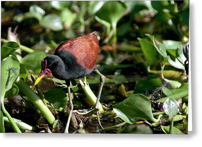 Jacanas Are Called 'jesus Birds' Greeting Card by Jan and Stoney Edwards