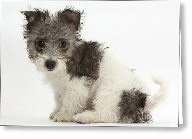 Jack Russel X Westies Pup Greeting Card by Mark Taylor