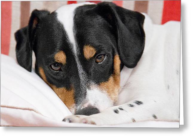 Jack Russell Terrier Dog - Square Format Greeting Card by Natalie Kinnear