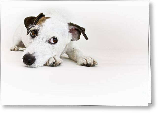 Jack Russell Terrier- Fine Art Photography By Holly Martin Greeting Card by Holly Martin