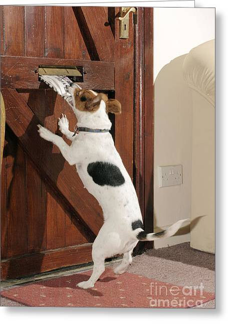 Jack Russell Terrier Gets Paper Greeting Card