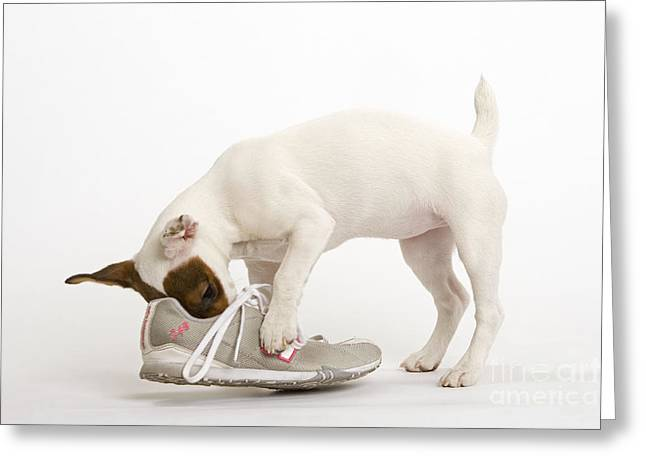 Jack Russell With Sneaker Greeting Card
